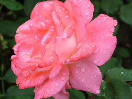 rose-168457__340