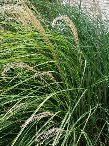 tallgrasspic