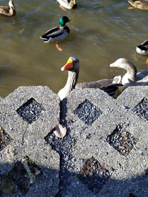 duckpeekpic