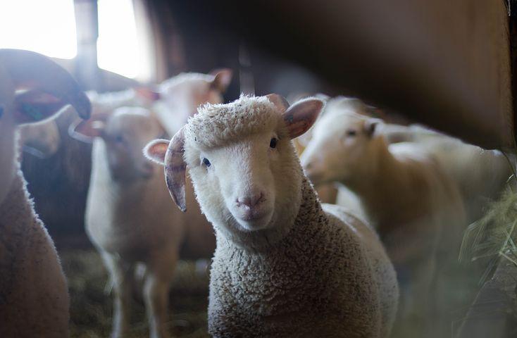 sheepalonepic