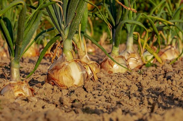 onionroots