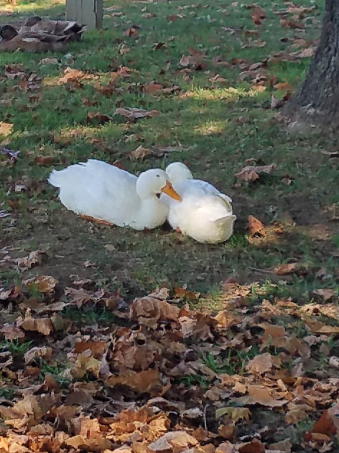 duckcouple