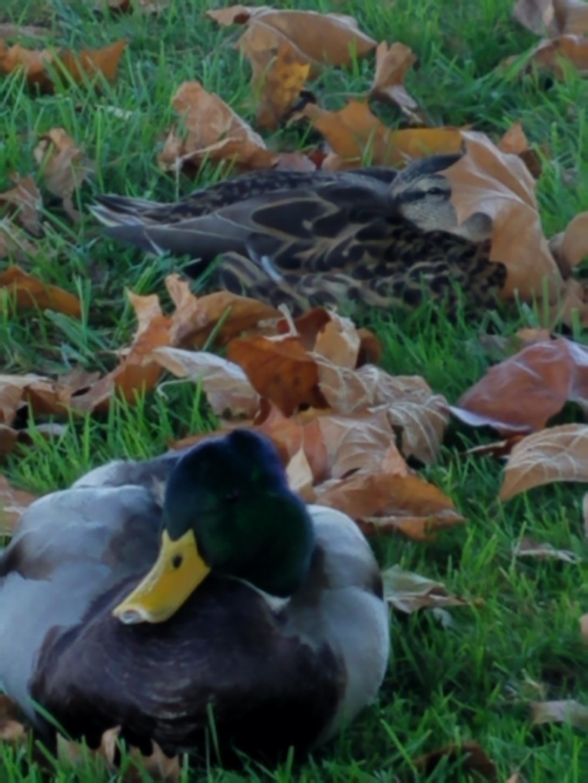 duckleaf