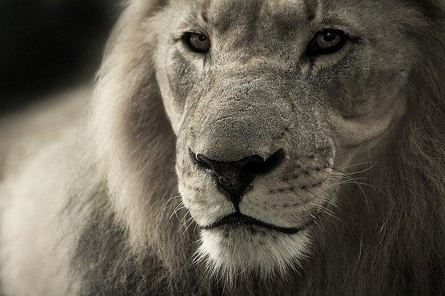 liondraw