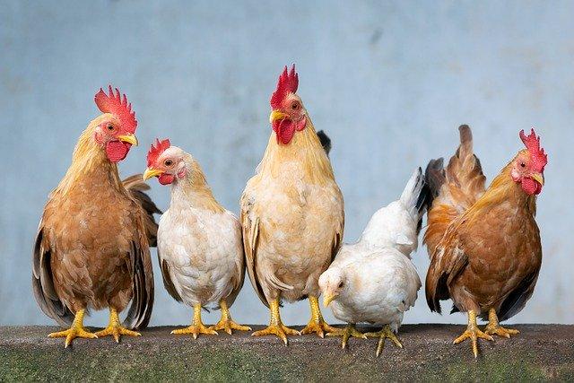 chicken-4849979_640